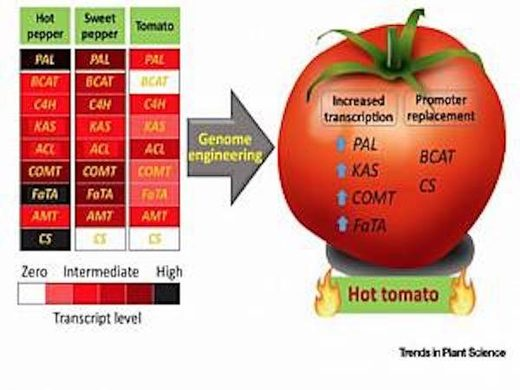 Scientists want to use CRISPR to make one spicy tomato