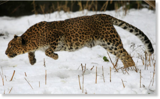 A female leopard sits inside a snow covered enclosure at Dachigam Wildlife Sanctuary, outskirts of Srinagar.