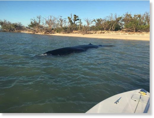 A rare dead Bryde's whale was recovered