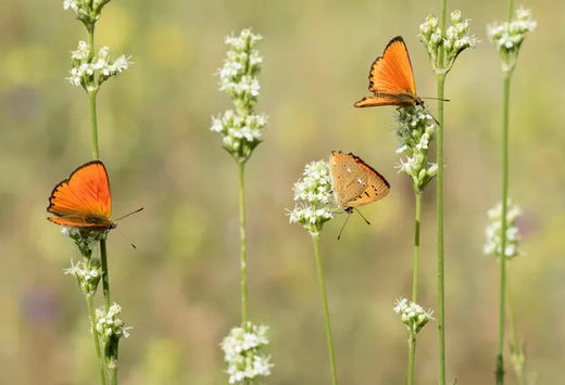 Scarce copper butterflies