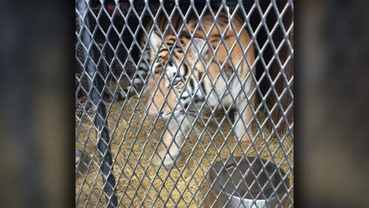 tiger cage Houston