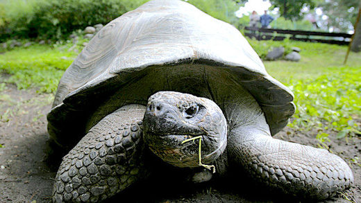 5_Galapagos_giant_tortoise_at_.jpg