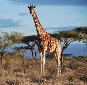 Giraffe Darwin