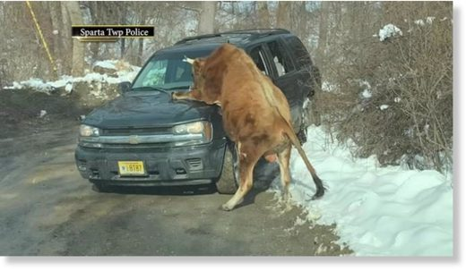 Bull Mounts Car