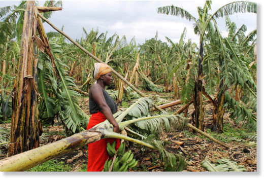 Destroyed. Ms Flora Kugonza in her banana plantation that was destroyed by a hailstorm in Kyatwa village Bunyangabu district on Wednesday.