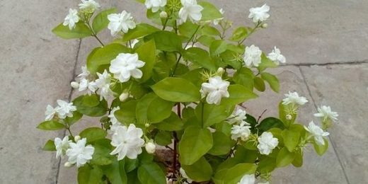 Keeping a jasmine plant in your room reduces anxiety, panic attacks and depression