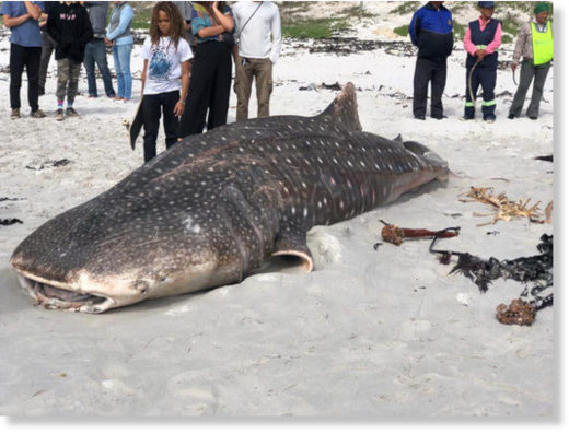 The whale shark found on the beach this morning.