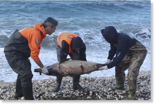 In this photo provided by Archipelagos Institute of Marine Conservation members of Archipelagos institute carry a dead dolphin at a beach of Samos island, Aegean sea, Greece, on Saturday, Feb. 9, 2019.