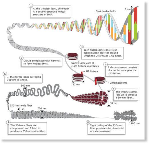 DNA folding
