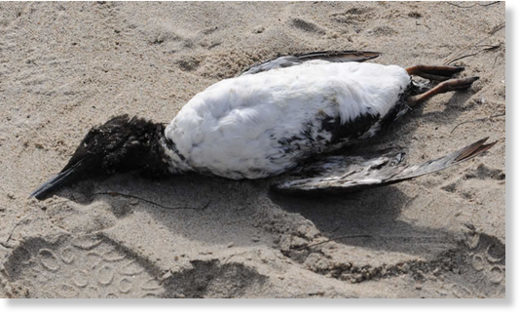 Common Murre (dead)