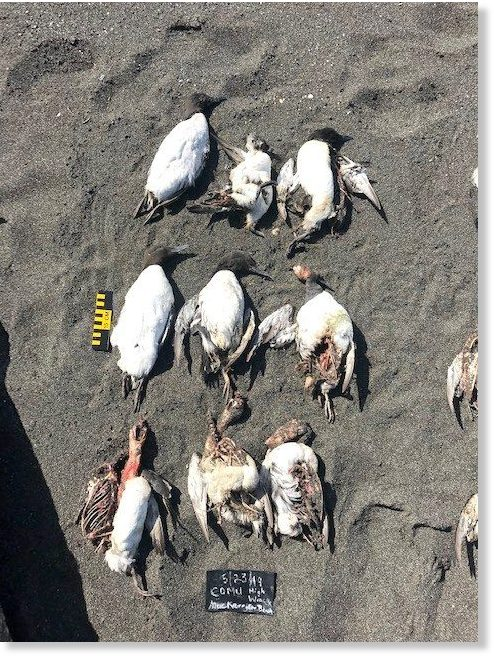 Contributed Common Murres collected on the beach this week at MacKerricher State Park.