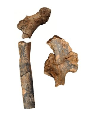 Pelvis and Femur bone Fossils