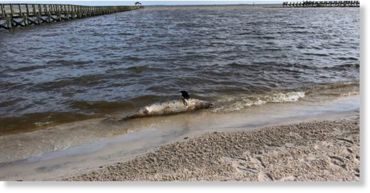 A third dead dolphin washed ashore Tuesday morning on Front Beach in Ocean Springs.