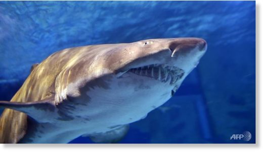 Bull sharks are regarded as the most dangerous