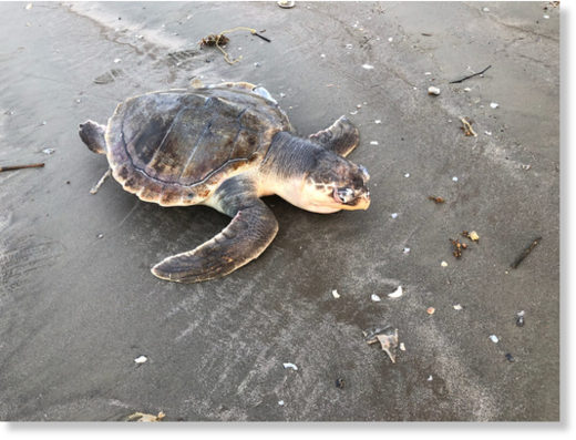 A deceased Kemp's ridley sea turtle, the world's most endangered sea turtle and the Texas state sea turtle, is found on the upper Texas coast during the highest recorded stranding event in one month since 1980.