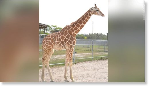 The Lion Country Safari posted on their Facebook page that two giraffes , Lily and Jioni, were killed in a lightning strike.