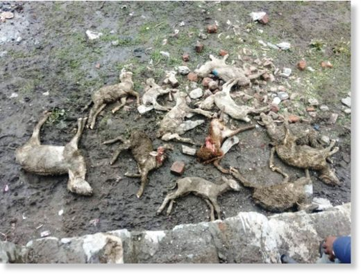 Lightning kills over 100 sheep in Ganderbal.