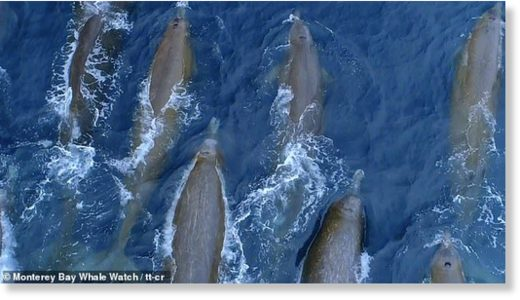 Marine biologists at Monterey Bay Whale Watch in California were stunned to come across the pod of 24 Baird's beaked whales