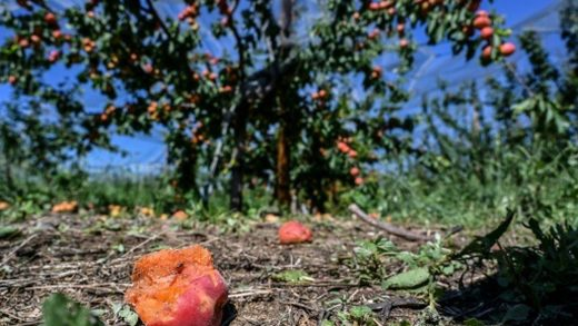Hail-damaged apricots at an orchard in La Roche-de-Glun in southeast France