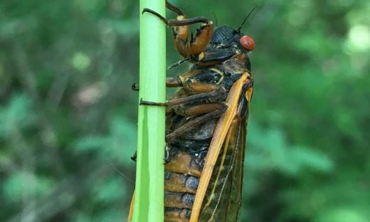 'Flying salt shakers of death': How a zombie fungus affects cicadas