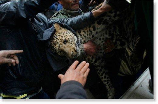 Leopard_away_after_it_was_foun.jpg