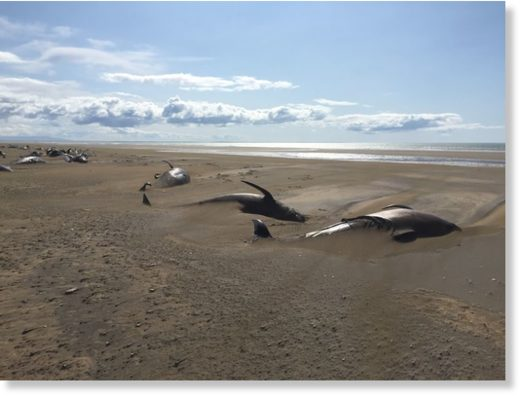 The beached pilot whales in Snæfellsnes, West Iceland.