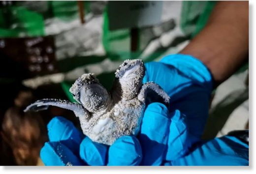 The turtle would probably not have surivived long in the wild, a vet from Sabah Wildlife Department said
