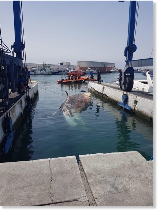 TRAGIC: Whale in waters of Marbella port
