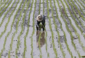 A farmer plants rice in a paddy field in Thailand's Nakhonsawan province