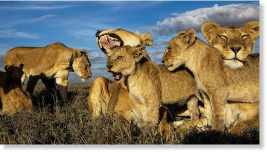 Lions are the only cats that live in groups, which are dominated by females.