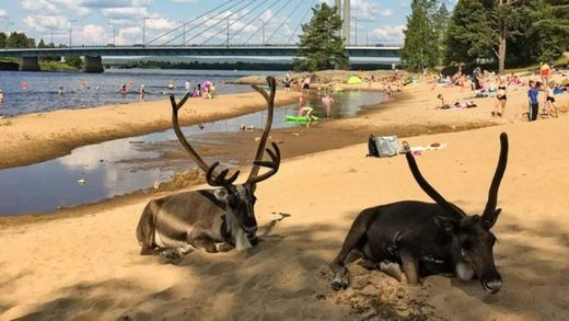 Reindeer in Rovaniemi, Finland cool down at the beach