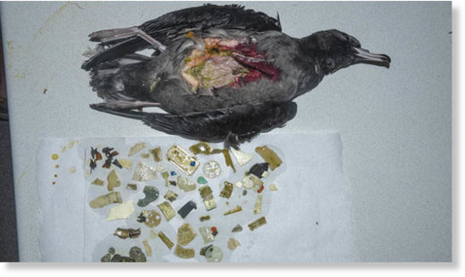 Some chicks have been found on Lord Howe Island with over 200 pieces of plastic in them, from biro lids to LEGO pieces