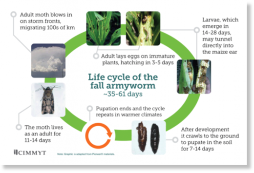 FAll_armyworm_lifecycle_1.png