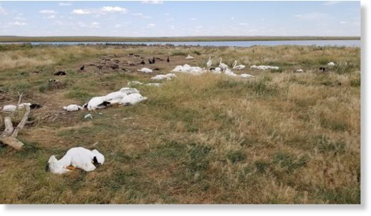 A few young birds walk among the carcasses of pelicans and double-crested cormorants killed by two-inch hail and 70 mph wind Sunday, Aug. 11, 2019, at Big Lake Wildlife Management Area west of Molt