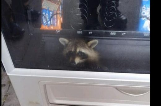 raccoon vending machine