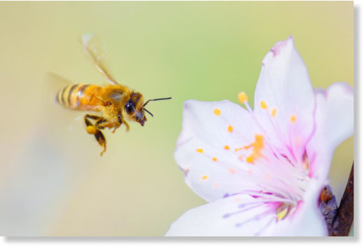 Honey bees are responsible for pollinating a large percentage of the world's plants, many of which are consumed by humans.
