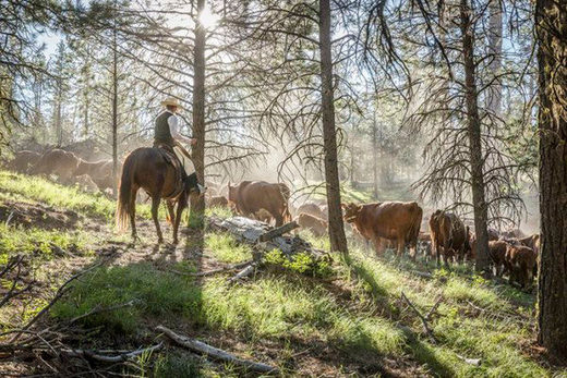Oregon cattle killings, mutilations alarm ranchers