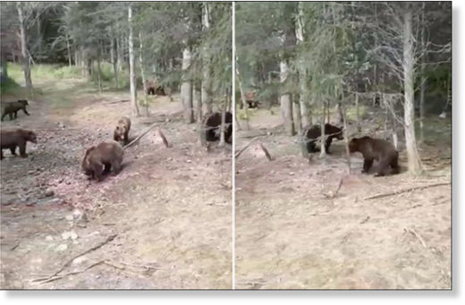 A collage of two screen grabs shows a pack of 14 brown bears filmed surrounding a truck in Magadan region