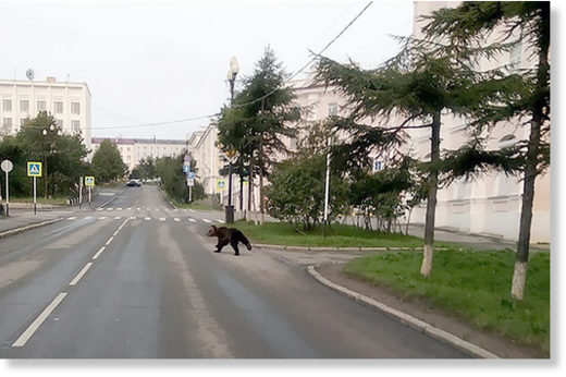 Brown bears seen running across streets and in city centres of Magadan and Petropavlovsk-Kamchatsky