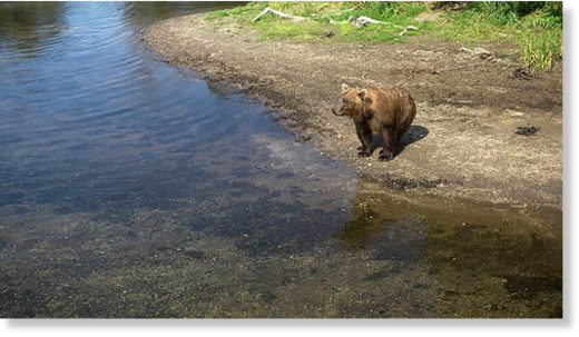 Hungry brown bears are pictured waiting for salmon to arrive at yet empty rivers of the Kamchatka peninsula. Pictures: Liana Varavskaya