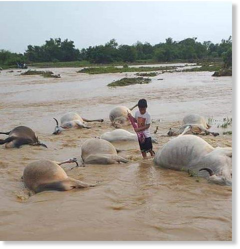 Several cows drowned due to flashflood in Barangn,