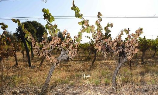 Vines badly burnt by the sun and heat in a vineyard in Sussargues, southern France