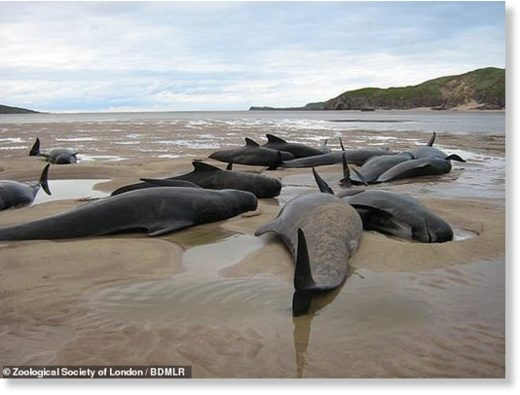 Almost 5,000 dolphins, porpoises and whales have been found washed up dead on shores around the United Kingdom in a single seven-year period. Pictured, a mass stranding of long-finned pilot whales on a b