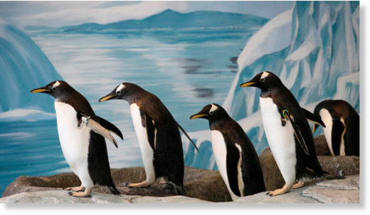 Long-tailed Gentoo Penguins of indeterminate gender at a zoo in Krasnoyarsk, Russia
