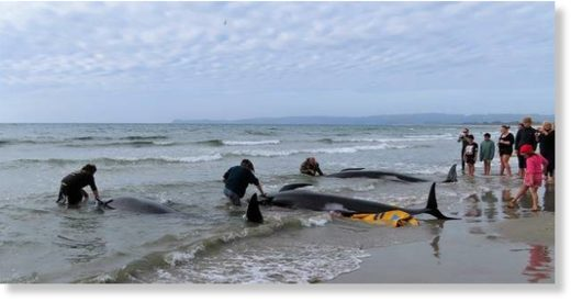 Those who gathered on Ruakaka Beach treated the dead pilot whales with respect.