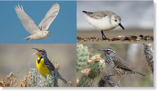 Populations of rare and common birds alike are decreasing across North America, including (clockwise from top left) snowy owls, sanderlings, cactus wrens and Western meadowlarks.