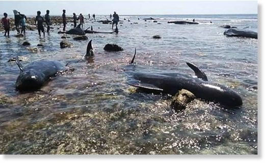 Six of the dead stranded whales were buried in a traditional ceremony