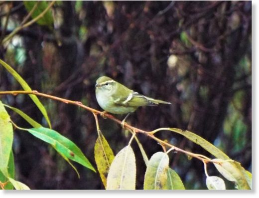 The sighting of a Yellow-browed Warbler in Saanich is the first time the bird has been seen in Canada.