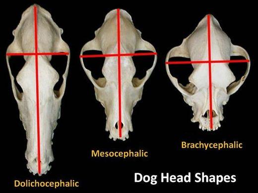 dog head shapes