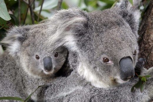 Conservationists fear hundreds of koalas have perished in wildfires